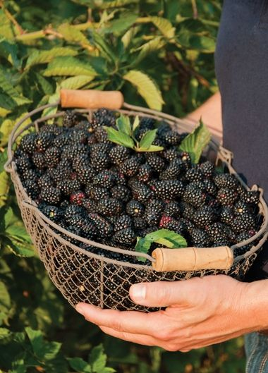 Good tips for growing blueberries, blackberries, and raspberries