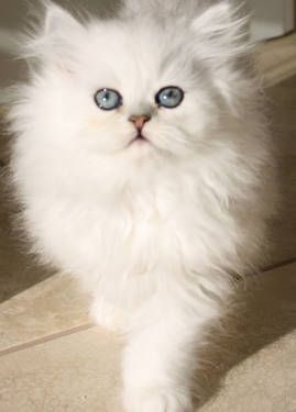 Beautiful CFA registerd Silver Persian kitten.    Prettiest kitten, EVER :-).  No, it's not mine, but IF I was going to get a kitten, I'd love one as beautiful as this baby!