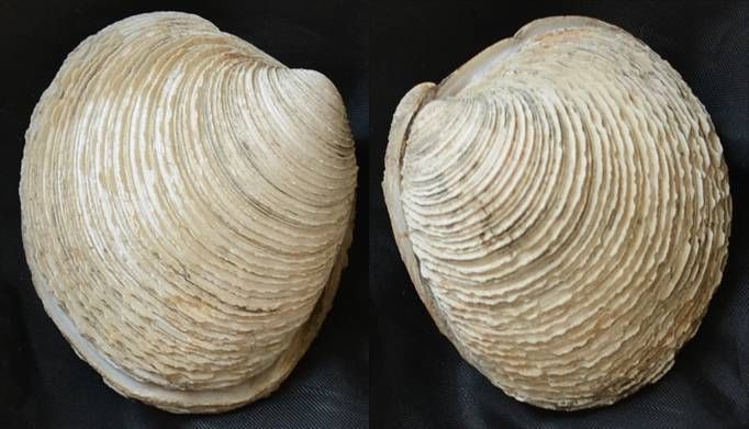 Ventricoloidea foveolata - (9334)
