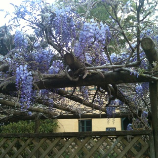 Beautiful Wisteria just coming into bloom. Now's the time to catch Spring at its peak on Tamborine Mountain. Great rates at www.lissongrove.com.au Still a vacancy for Sept 28 & 29. Springtime on the Mountain Festival