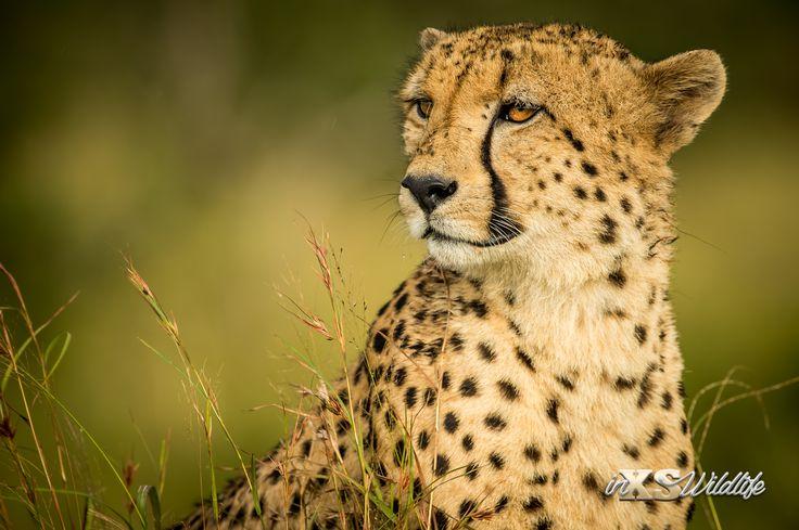 Cheetah Stare ©inXSWildlife #inxswildlife #wildlifephotography #cheetah #krugernationalpark #wildlife #nature #amazinganimals #animalkingdom #glorytoGod