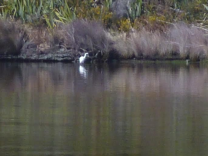 White Heron spotted in the Lagoon  #NZ #NewZealand #FranzJosef #Okarito