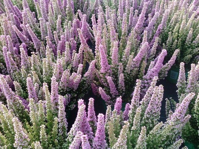 #Lavenders