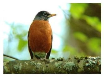 One of the first harbingers of Spring in southern Ontario... The Robin.