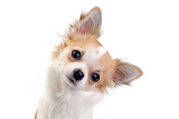 ***¿Por Qué los Perros Inclinan la Cabeza?*** ¿Quieres saber por qué motivo tu perro mueve la cabeza mientras le hablas? Lee esta nota, y descubre mucho más sobre este comportamiento....SIGUE LEYENDO EN...... http://comohacerpara.com/por-que-los-perros-inclinan-la-cabeza_18271h.html