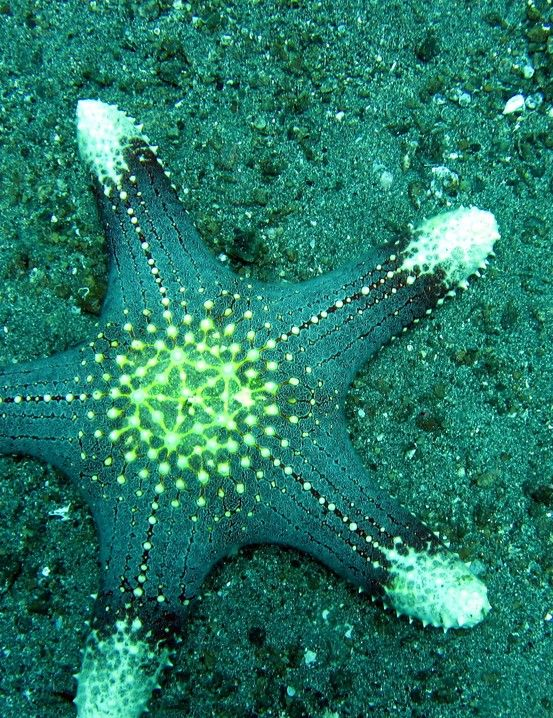 Starfish or sea stars are echinoderms and are part of the family including sea urchins, sand dollars and sea cucumbers. Although some have more, sea star typically have five arms and can amazingly regenerate lost or damaged limbs. This can also be used as a means of self defence.