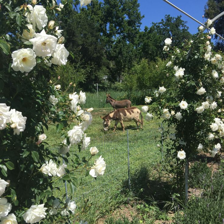patina farm white floribunda rose vines on the arbor