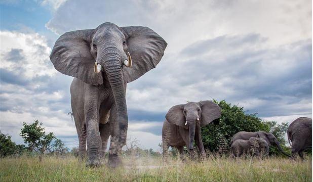 Luangwa Elephants - Will Burrard-Lucas (March 2013)