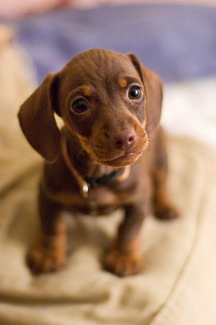 Olive the mini dachshund by Brian Hathcock, via Flickr