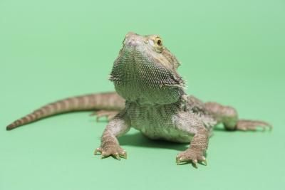 List Of Foods For Baby Bearded Dragons