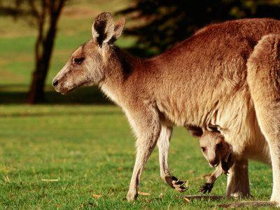 Kangaroo Facts For Kids   Kangaroo Habitat   Kangaroo Diet