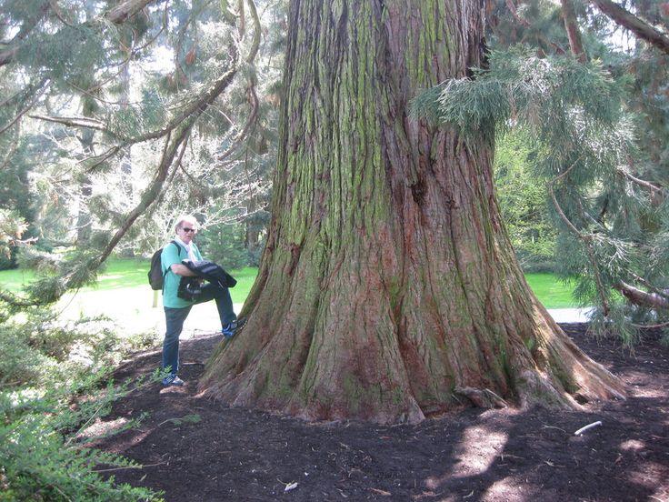 Mammutbaum Sequoiadendron giganteum (Insel Mainau) von Sonja Varol