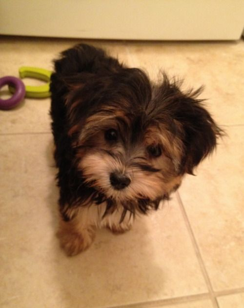 Morkie Dogs Cute Morkie1 Com Pinterest Summer