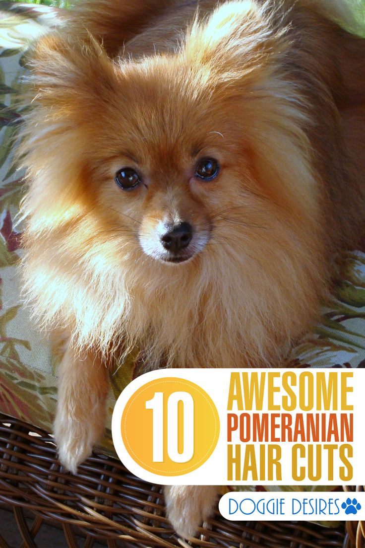 Pomeranians can be styled in so many awesome ways. Wondering just how many? Here's 10 awesome Pomeranian hair cut ideas. >> http://doggiedesires.com/10-pomeranian-hair-cut-ideas/