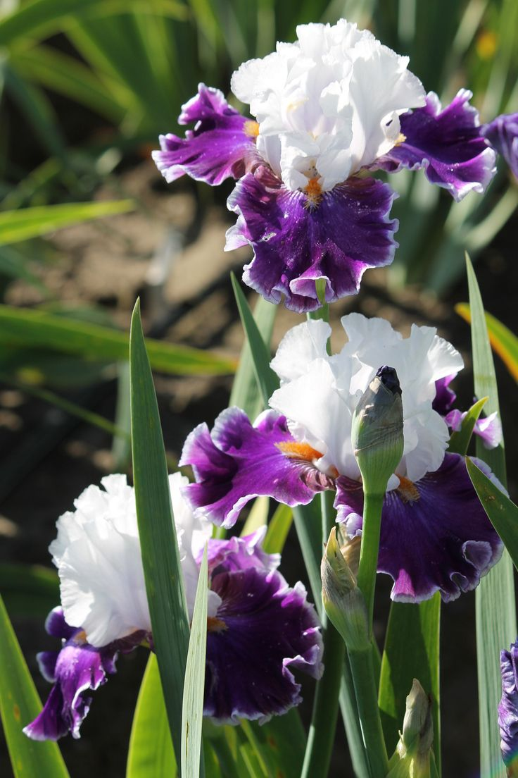 Tall Bearded Iris 'Merry Amigo'