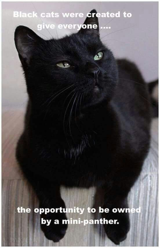 """Ha! I used to say this when I had my beautiful little Bombay mix I adopted from a pet store adoption. She was 7 years old and hung like a necklace around my neck when I sat down to read. They are absolutely Panther-like but """"bite size."""" I loved her SO much! Don't be deterred from adopting adult kittehz!!! I had her for a long time! Just take good care of them ❤️"""