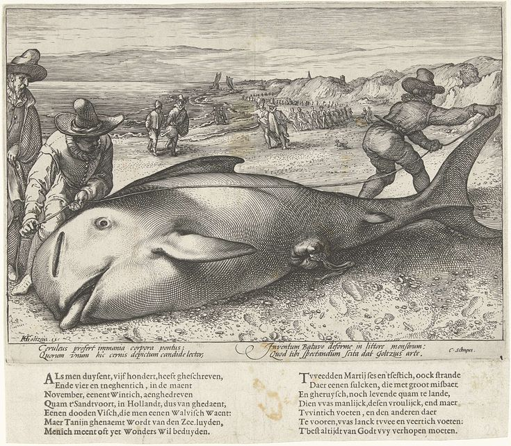 Hendrick Goltzius | Gestrande griend op het strand bij Zandvoort, 1594, Hendrick Goltzius, 1594 | Twee mannen nemen de maten van een griend, een kleine walvis, gestrand bij Zandvoort, 21 november 1594. Op het strand meerdere toeschouwers. Met onderschrift van 4 regels in het Latijn. Apart gedrukt onder de plaat 2 verzen van elk 7 regels in het Nederlands.