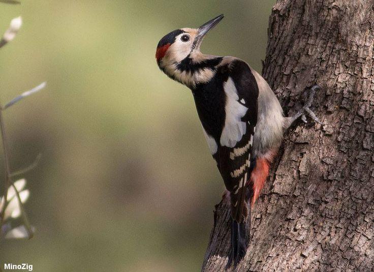 Photographie de MinoZig (Wikimedia Commons) : Pic syriaque (Dendrocopos syriacus) en Israël. #ornithologie   #oiseau   #nature   #israel