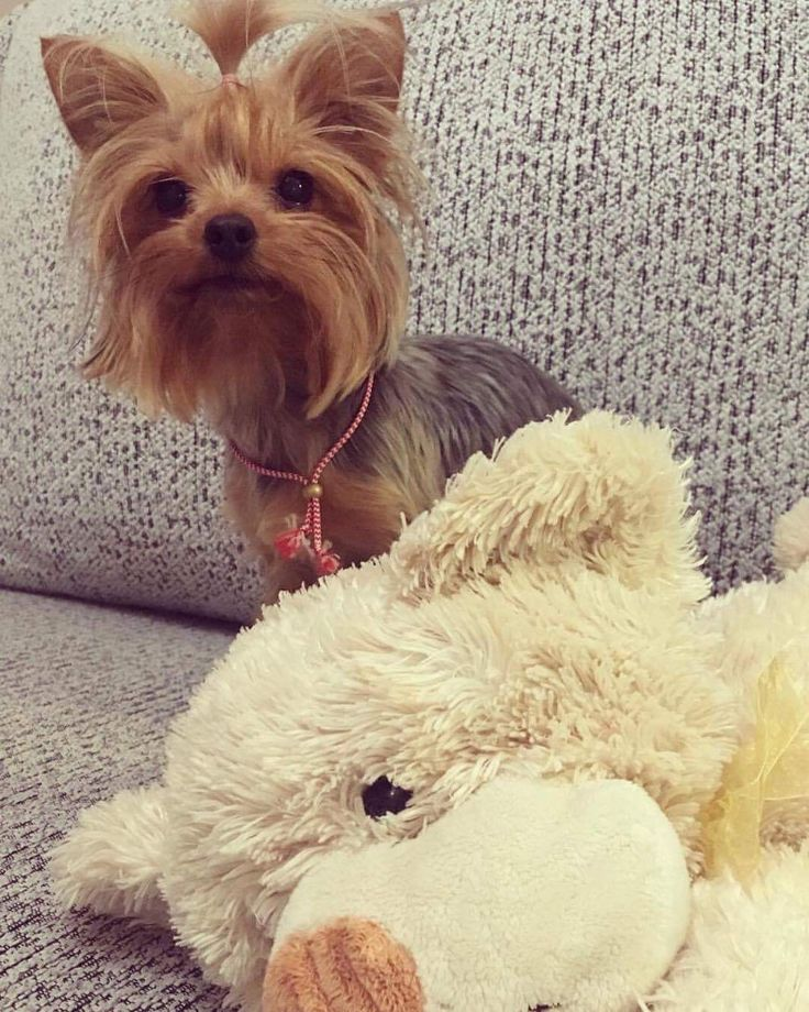 Plush toys #yorkie #yorkshire terrier #dogs #toys #beauty #cute #plushtoy #yorkie love #cute pets