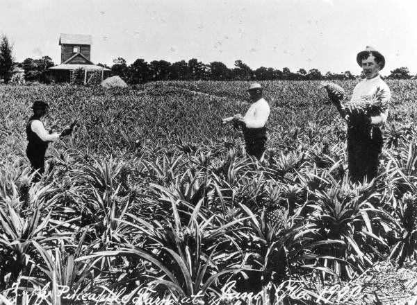 Florida Memory - Zapf Pineapple Farm - Juno Beach, Florida