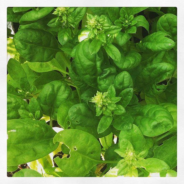 """@onzesuus's photo: """"Spinazie heeft de hittegolf niet overleefd. Onderste bladeren verdord en helemaal doorgeschoten. Middelste blaadjes door de salade gedaan #moestuin #groenten #kweken #spinazie"""""""