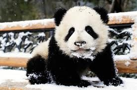 Pandas: Pandas Baby, Baby Pandas, Buckets Lists,  Pandas Bears, Snow Cones,  Coon Bears, Giant Pandas, Koalas Bears, Baby Bears