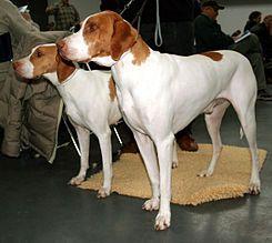 El Braco de Saint Germain (Braque Saint-Germain, FCI No. 115) es una raza de perro de caza versátil de origen francés. La raza se creó hacia 1830 mediante el cruce de perros ingleses y franceses de tipo pointer.