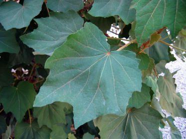 Árbol de las manitas, Árbol de la Garra de León, Chiranthodendron pentadactylon, Planta Vascular - angiosperma Las flores de esta planta eran empleadas por los indígenas para tratar la inflamación de los ojos y las hemorroides. También para disminuir la tos.