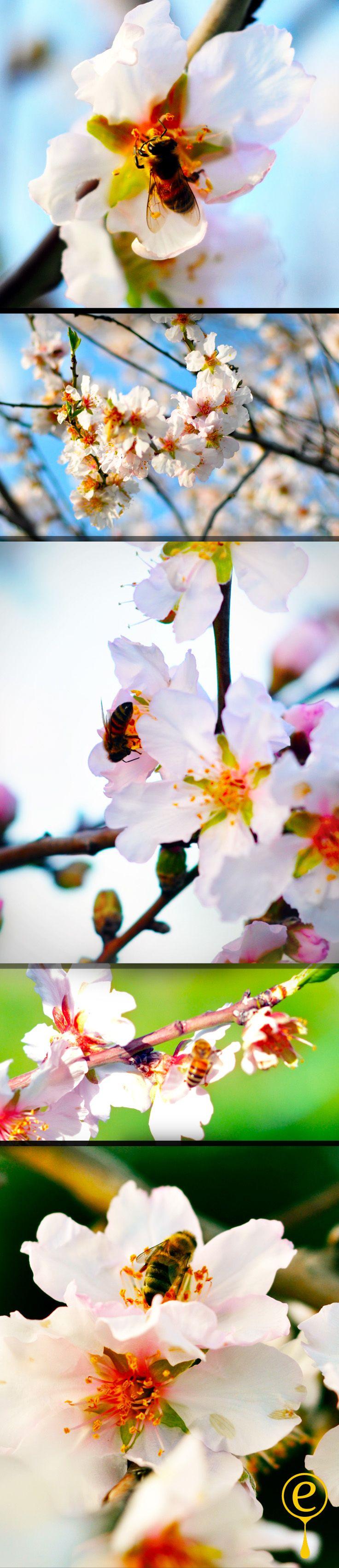 almond blossom, datca, baharın müjdecisi badem çiçeklerinin arılarla dansı. egegourmet.com