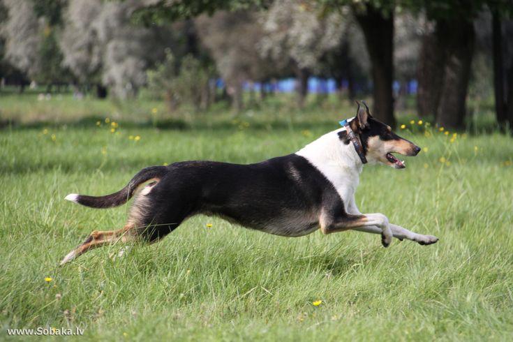 running-collie-smooth-dog-photo.jpg (2304×1536)