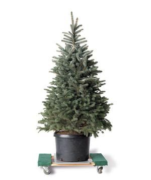 The ultimate guide to buying, caring, taking down, and tree-cycling a Christmas tree.