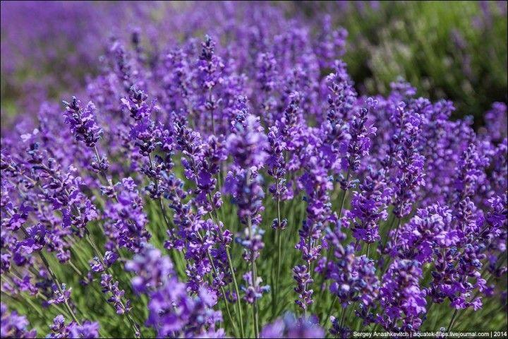 Lavenderfields04 Крымский Прованс. Лавандовые поля в Крыму