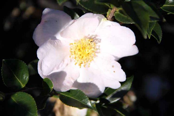 Camellia_Esquisite