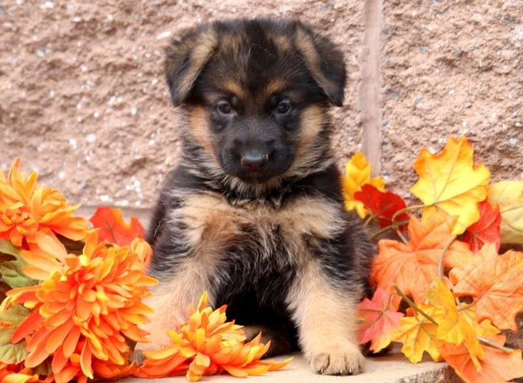 german shepherd mix puppies for sale lancaster puppies - 736×539