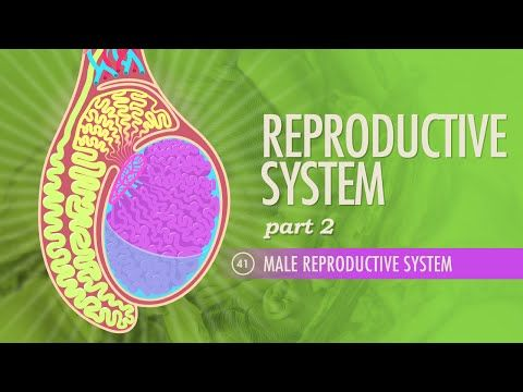 Reproductive System, part 2 - Male Reproductive System: Crash Course A&P 41 - YouTube