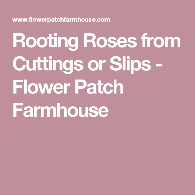 Rooting Roses from Cuttings or Slips - Flower Patch Farmhouse