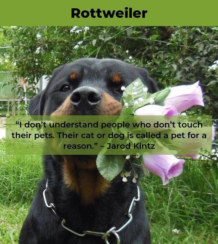 Rottweiler Loving Confident And Loyal Rottweiler Rottweiler