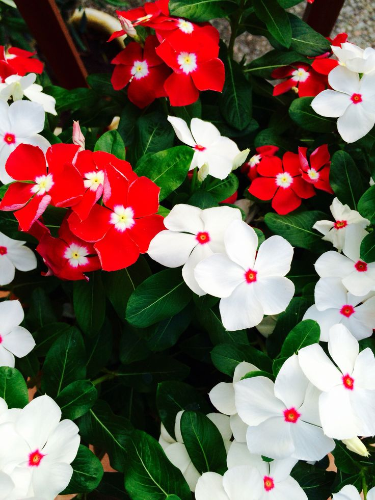 Vinca Red and white