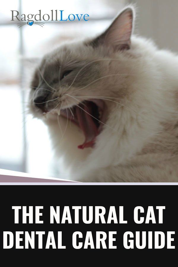 Fisher Cat Teeth : fisher, teeth, Natural, Dental, Guide, (Cause, Cat's, Teeth, Matter)!, Advice,, Health, Care,