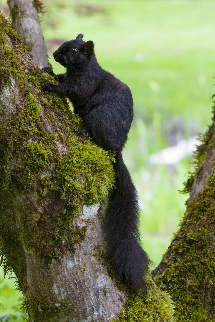 The black squirrel is a melanistic subgroup of the eastern gray squirrel. They are common in the Midwestern United States, Ontario, Quebec, and parts of the Northeastern United States and the United Kingdom.