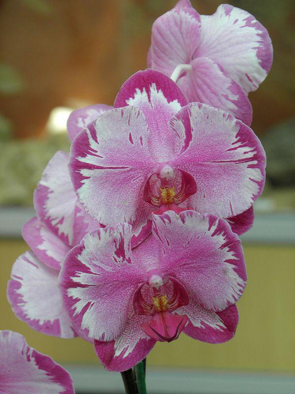 #Orchid #phalaenopsis