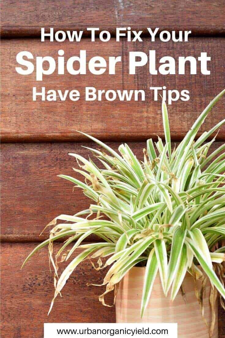 Why Does My Spider Plant Have Brown Tips And How To Fix It Spider Plants Plants Plant Problems
