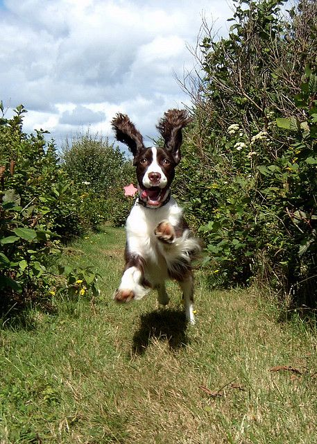 LOVE spaniels!!! Springing Springer  Stella, 2003.~ love this photo.