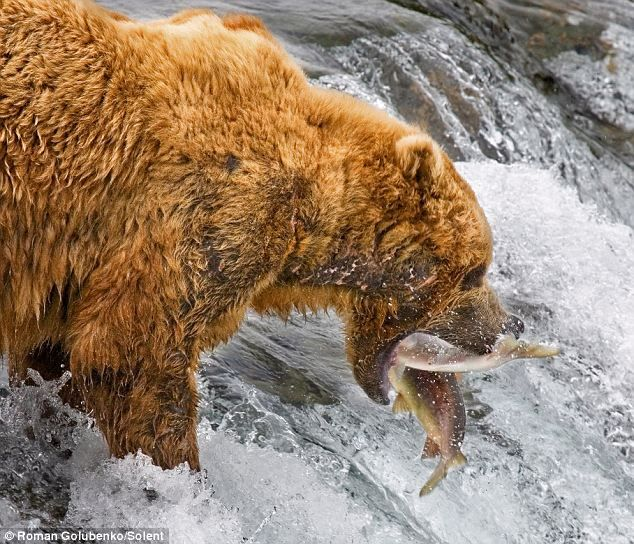 Gone fishing: The mother bear catches two fish at a time as she hunts for salmon on the precipice of a waterfall in Katmai National Park, Alaska