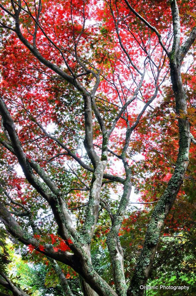 Maple trees are in full colour at Mt. Tomah