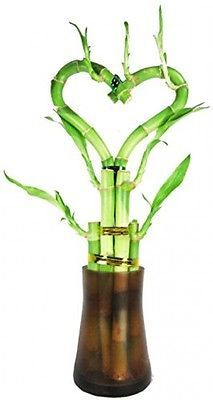 Set Of 2 Live Heart Shape 6 Style Lucky Bamboo Plant With Tall Glass Vase