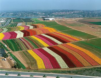 The Flower Fields, Carlsbad, CA: The fields today are a direct result of over 85 years of floral cultivation that began when Luther Gage, an early settler and grower settled in the area in the early 1920's.