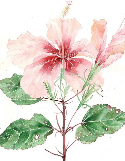 big pink hibiscus | Watercolour and pencil on Arches paper S… | Gabby Malpas | Flickr