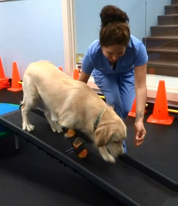 how to become a dog physical therapist