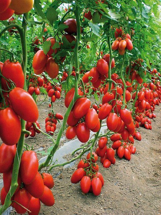 Листва у томатов: удалять или нет? (Фото нашего подписчика Владимира М� | идеи для сада и огорода | Постила